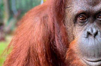 ¿Puedo ayudarte? La foto viral de un orangután que extiende la mano a un hombre