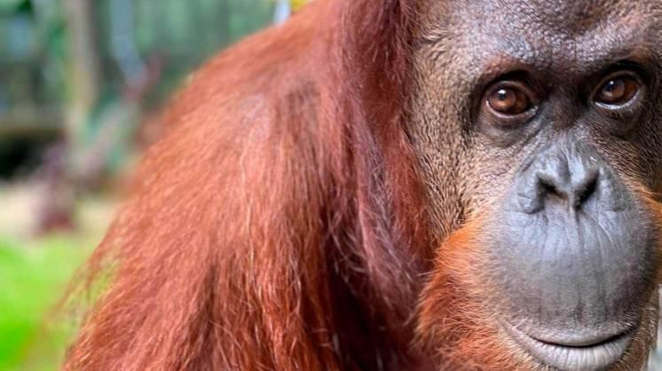 orangutana