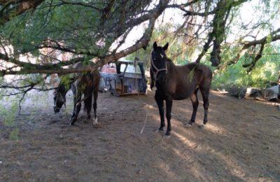 Intentaban robar 18 caballos en un camión jaula y fueron detenidos