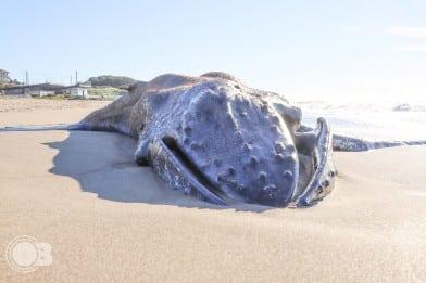 Apareció una ballena muerta en la costa de Mar del Plata