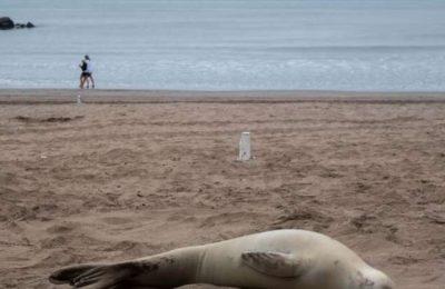 Atacaron a palazos a una foca cangrejera que apareció en las playas de Mar del Plata