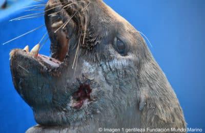 Monte Hermoso: mataron un lobo marino a balazos